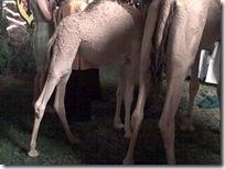 Kamelbeine